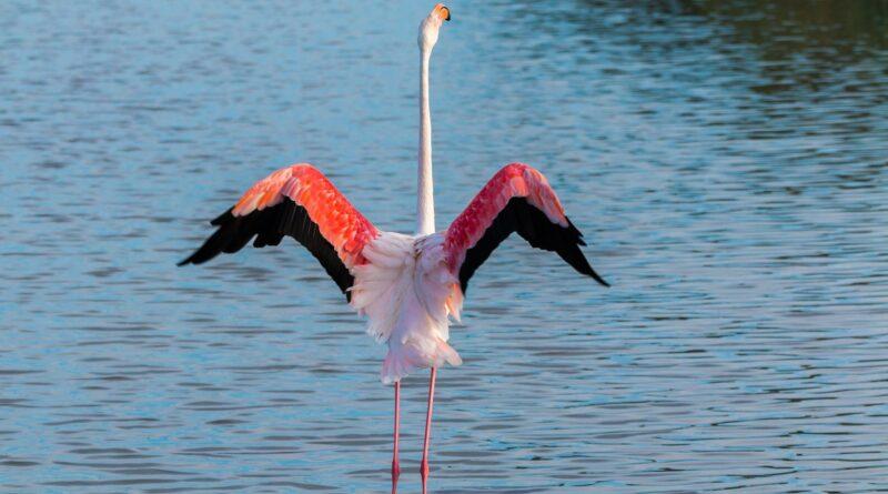 Freilebende Flamingos in Deutschland ?