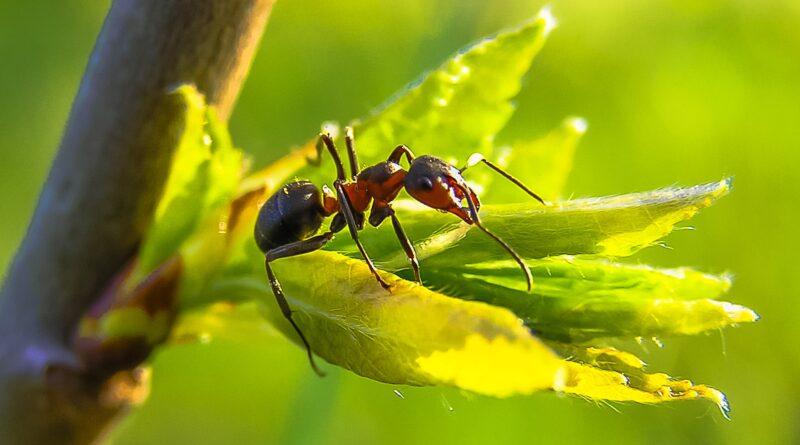 Die schnellste Ameise der Welt